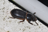 其他昆蟲館:大黑豔蟲 DSC_9359