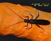 其他昆蟲館:襀 (ㄐㄧ) 翅目---石蠅DSC_0479