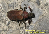 其他目---昆蟲:蟬寄甲      IMG_1103