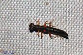 隱翅蟲:紅斑突眼隱翅蟲DSC_9177.JPG-1