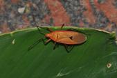 半翅目─椿象:暗斑大棉紅椿象 DSC_9157