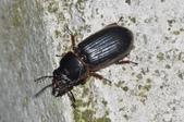 其他昆蟲館:大黑豔蟲 DSC_9355