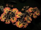 2013台南公園蘭花展:IMG_0787.JPG-1.jpg