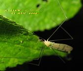 大蚊:亮大蚊IMG_2940