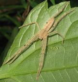 蜘蛛:短胸長蟹蛛 4