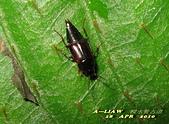 隱翅蟲:隱翅蟲     IMG_3406