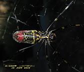 蜘蛛:橫帶人面蜘蛛     IMG_4098