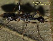 半翅目─椿象:地長椿科直腹族細頸長椿屬Vertomannus sp.     DSC_1431