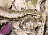 飛禽走獸:印度蜓蜥      IMG_7275