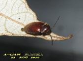 其他目---昆蟲:長花蚤 雌蟲      IMG_5115