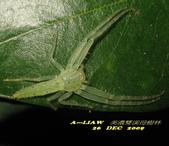 美濃雙溪母樹林夜觀091226:嫩葉蛛   IMG_2604