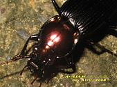 步行蟲:艷胸步行蟲      IMG_5827