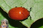 其他昆蟲館:大蕈蟲Neotriplax sp.DSC_1024.JPG-1