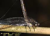 脈翅目--草蛉、姬蛉、螳蛉、長角蛉:長角蛉DSC_1134