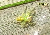 蜘蛛:白斑艾普蛛IMG_6962