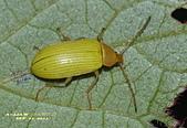 其他目---昆蟲:朽木蟲      DSC_4683