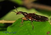 隱翅蟲:DSC_2270