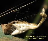 蜘蛛:黑尾曳尾蛛(灰白色型)    IMG_3498
