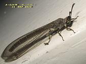 其他目---昆蟲:蟻蛉又稱為短角蛉IMG_6046