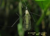 大蚊:亮大蚊    IMG_5618