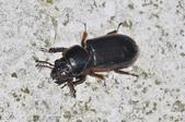 其他昆蟲館:大黑豔蟲 DSC_9354