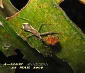 半翅目─椿象:長刺素獵椿若蟲捕食瓢蟲 IMG_5359