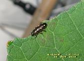 其他目---昆蟲:臺灣大吸木蟲 IMG_7527