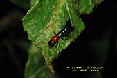 隱翅蟲:隱翅蟲     IMG_3409