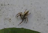 蜘蛛:DSC00100眼鏡黑條蠅虎─雄蛛