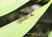 其他目---昆蟲:螳蛉 IMG_7290