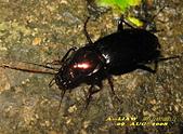 步行蟲:艷胸步行蟲      IMG_5819
