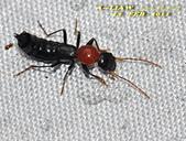 隱翅蟲:紅胸巨隱翅蟲   DSC_9458
