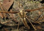 蜘蛛:鬼面蛛      IMG_6417