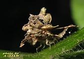 其他昆蟲館:蚜獅(草蛉的幼蟲) IMG_6227