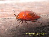 其他昆蟲館:出尾蕈蟲     IMG_5722