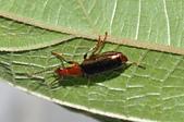 步行蟲:綠豔條紋步行DSC_9314