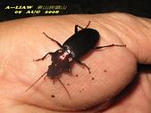 步行蟲:艷胸步行蟲      IMG_5824
