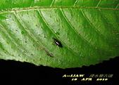隱翅蟲:隱翅蟲     IMG_3404