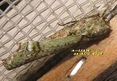 鱗翅目---蛾:IMG_6617