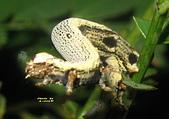 鱗翅目---蛾:IMG_0910