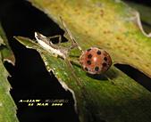 半翅目─椿象:長刺素獵椿若蟲捕食瓢蟲 IMG_5355