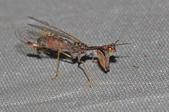 其他目---昆蟲:DSC_1164