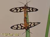 鱗翅目---蛾:狹翅鹿子蛾(明窗鹿子蛾)DSC_0438