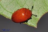 其他昆蟲館:大蕈蟲Neotriplax sp.DSC_1023.JPG-1