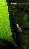 大蚊:亮大蚊IMG_2945