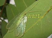 其他昆蟲館:草蛉    IMG_2230