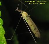 大蚊:亮大蚊IMG_2945.jpg-1