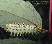 待查的蟲蛛:IMG_4151