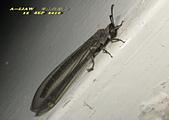 其他目---昆蟲:蟻蛉又稱為短角蛉IMG_6045