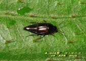 隱翅蟲:隱翅蟲     IMG_3403